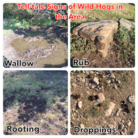 Tell-tale Signs of Wild Hogs in the Area