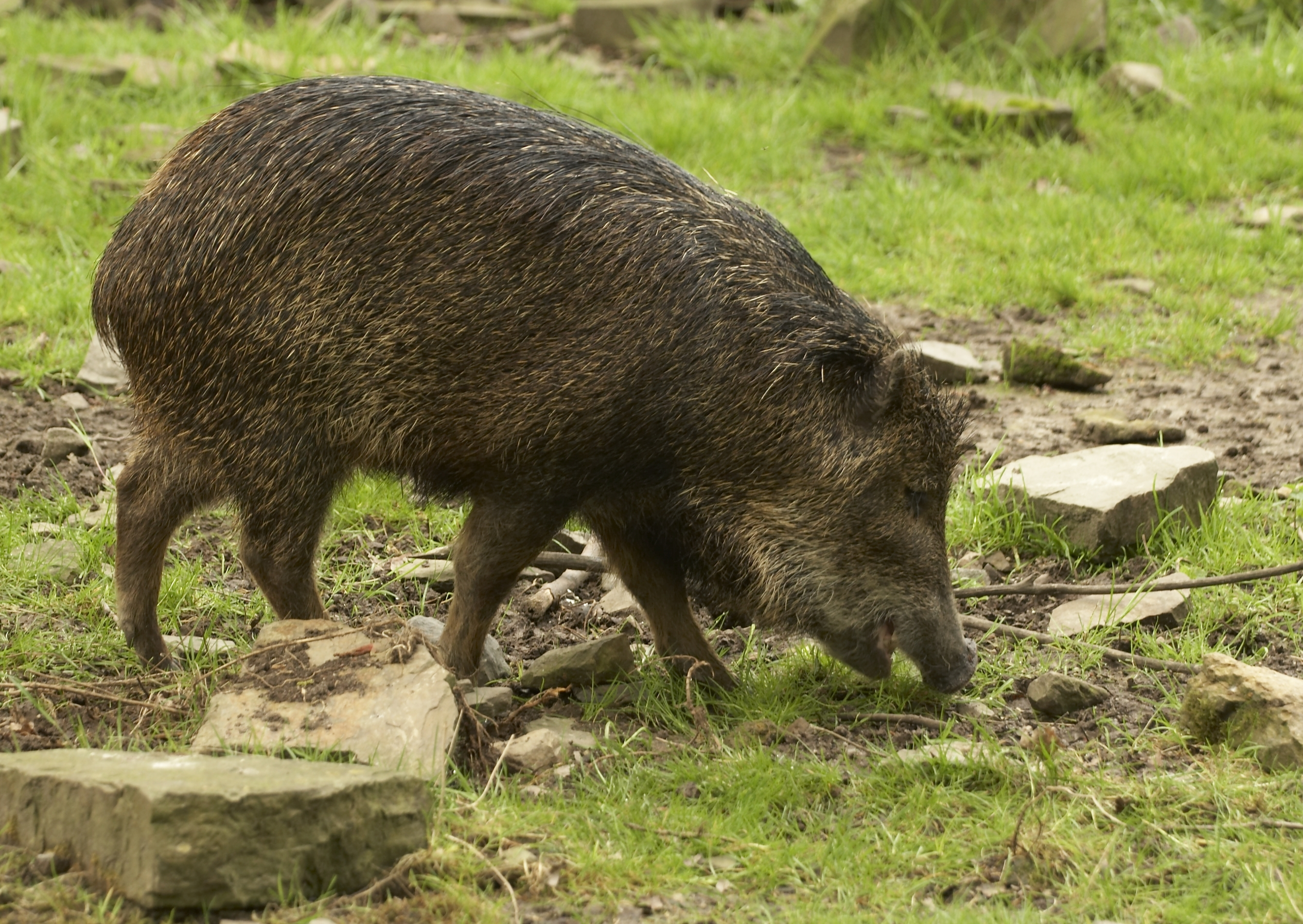 Tips For Hog Hunting With Feeders - Hog