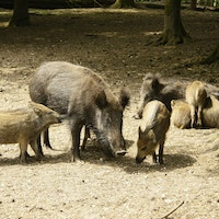 Sow Piglets Maternal Behavior