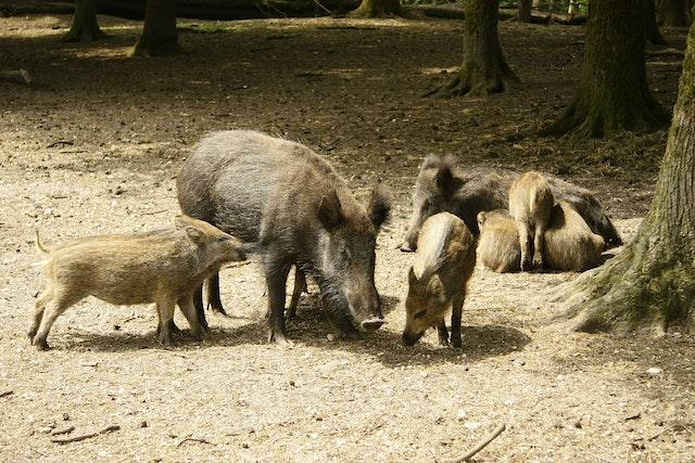 Sow Piglets Maternal Behavior