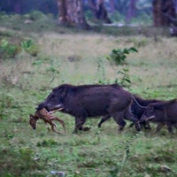 wild hogs killing deer