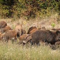 Feral Hog and Piglets