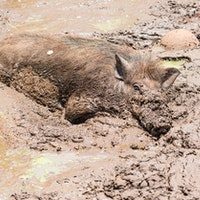 Feral hogs carry diseases which can be transmitted to humans