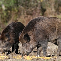Feral hogs in a field
