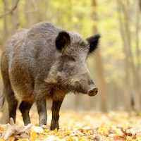 Feral hogs are aggressive creatures with excellent hearing