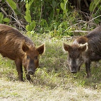 Texas County putting bounty on hogs