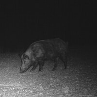 Wild hog at night