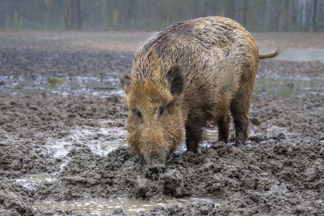 Hog hunting season