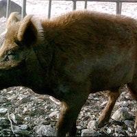 Feral hog senses