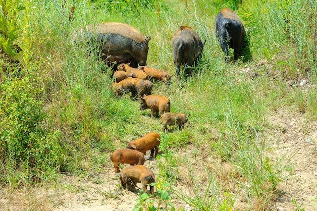 Feral hog family