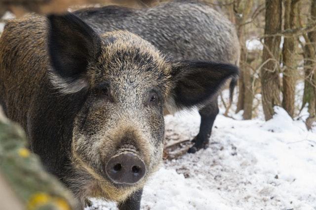 Diy Hog Hunting Bait Tips And Tricks For Taking Feral Hogs