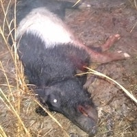 Tyler county sow