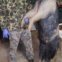big hog