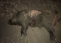 Big Boar Down