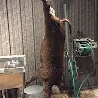 Hog weight contest 1